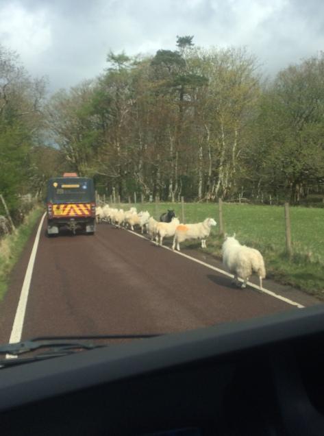 Sheep in the roadJPG